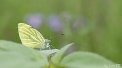 DN9A4428 (Josette Veltman) Tags: dravogel tuinen homeopatisch harde tharde gelderland garden herbs kruiden medicinaal vlinders groen natuur nature geaderd witje geaderdwitje vlinder insect
