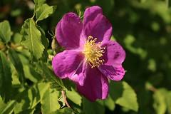 Rosa Nutkana Rose In Bloom 026 (Chrisser) Tags: flowers roses rosanutkana rosaceae nature ontario canada canoneosrebelt6i canonefs1855mmf3556isstmlens gardening garden fourseasons spring closeups