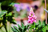 Blooming Sunshine! (BGDL) Tags: lightroomcc nikond7000 nikkor50mm118g bgdl niftyfifty lupin bokeh bokehinflora weeklythemechallenge