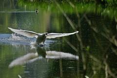 Swan sliding in. (artanglerPD) Tags: mute swan landing reflections
