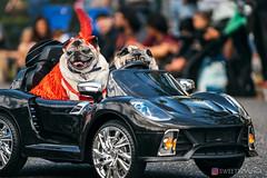 PugCrwal-63 (sweetrevenge12) Tags: portland oregon unitedstates us pug parade crawl brewing sony pugs dog pet