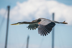 Great Blue Heron flying through the Marina (mjeedelbr) Tags: greatblueheron