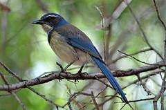 Jay- California Scrub-Jay, California, San Bernardino County, Big Morongo Canyon Preserve (EC Leatherberry) Tags: bird wildlife california sanbernardinocounty bigmorongocanyonpreserve aphelocomacalifornica californiascrubjay