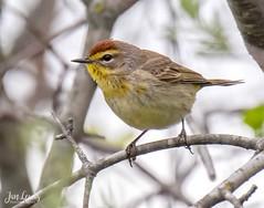 Palm Warbler (jklewis4) Tags: woodwarbler palmwarbler eastgrandrapids michigan waterfrontpark bird birds