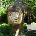 Akron Zoo 06-06-2014 - Lion 2