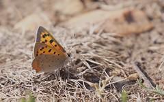 Cuivré commun - IMBF0637 (6franc6) Tags: papillon occitanie languedoc gard 30 mai 2018 6franc6 vélo kalkoff