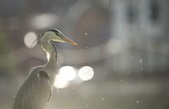 Grey Heron (Benjamin Joseph Andrew) Tags: backlit waterbird bird urban street town freshwater city looking waiting headlights buildings summer midges gnats