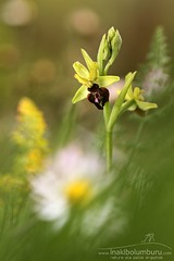 Ophrys sphegodes (Obikani) Tags: ophryssphegodes orchid flower nature macro canonikos