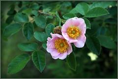 Doppelt hält besser... (julia_HalleFotoFan) Tags: rosen wildrosen mittwochsblümchen
