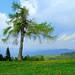 Larch tree on Erzelj