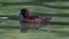 Tufted Duck / Fuligule Morillon (Franck Zumella) Tags: tufted duck green black white bird lake oiseau eau water fuligule morillon male femelle wildlife animal nature 오리 lac canard