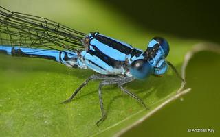 Damselfly, Argia sp., Coenagrionidae