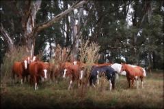 En el cardal (Eduardo Amorim) Tags: cavalos caballos horses chevaux cavalli pferde caballo horse cheval cavallo pferd cavalo cavall tropilla tropilha herd tropillas tropilhas 馬 حصان 马 лошадь crioulo criollo crioulos criollos cavalocrioulo cavaloscrioulos caballocriollo caballoscriollos ayacucho provinciadebuenosaires buenosairesprovince argentina sudamérica südamerika suramérica américadosul southamerica amériquedusud americameridionale américadelsur americadelsud eduardoamorim cardal cardo cardón cynaracardunculus carde cardonette chardon