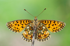 Small pearl-bordered fritillary (Boloria selene) underside (Ian Redding) Tags: uk smallpearlborderedfritillary boloriaselene wings open pattern fritillary butterfly atrest pearls rare scarce endangered beautiful priddymineries somerset british european nature insect fauna wildlife perched perching