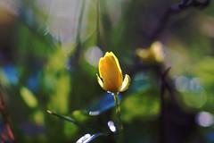 Yellow flower (Jens III) Tags: flickr flower colorful digital painting sonyalpha6000 vivitar makro macro