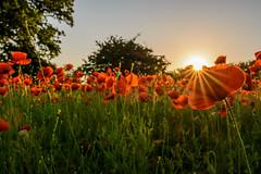 Mohnfeld 1 (rahe.johannes) Tags: sonnenuntergang schleswigholstein felder mohnfeld mohn blüten sonne sonnenstrahlen meinsh derechtenorden