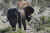 Chamabondo Game Reserve, Zimbabwe_Elephant uses dirt as sunscreen (Barry Zee) Tags: elephants use dirt sunscreen sandbath dirtbath nikon d500 20004000 mm f40 nikond500 nikon200400mmf4vr chamobondo nikon200400mmf4 chamabondo game reserve chamabondogamereserve