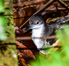 Tropical Shearwater (dorneyphoto) Tags: elements seychelles tropicalshearwater cousineisland