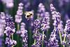Lavender and bumblebee in flight (PaulHoo) Tags: nikon d750 macro nature detail closeup 2018 garden bumblebee insect flower flora petal lavender purple backlit