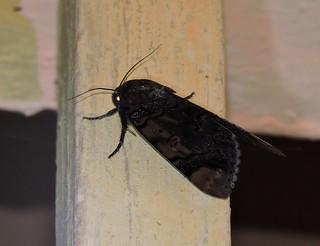 Liuzhou/柳州 - Arcte coerula/Ramie Moth/苎麻夜蛾 DSCN3555
