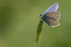 Beauty (michel1276) Tags: butterfly papillon schmetterling wiese gras makro macro oldlens olympus zuiko zuikomacro9020 manualfocus vintagelens