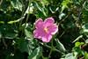 Rose Mallow (Gene Ellison) Tags: plant wildflower rose mallow field
