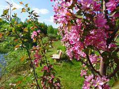 Springtime variations. HBM! (+2) (peggyhr) Tags: peggyhr crabappleblossoms bench lake springtime dsc03002a bluebirdestates alberta canada carolinasfarmfriends