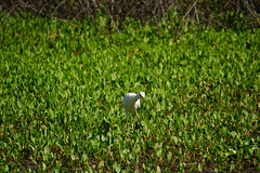 DSC00438.jpg (joe.spandrusyszyn) Tags: florida unitedstatesofamerica ardeidae gainesville paynespraire bubulcusibis bubulcus bird pelecaniformes byjoespandrusyszyn nature cattleegret vertebrate heron animal