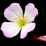 Oenothera speciosa (Pinkladies, Pink primrose) : ヒルザキツキミソウ thumbnail