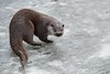 Why is my pond frozen (mikedoylepics) Tags: surrey otter europeanotter britishwildlifecentre mammals lingfield nature