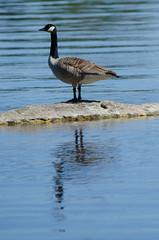 Branta canadensis (talaakso) Tags: animal bird brantacanadensis canadagoose gås kanadagans kanadagås goose kanadanhanhi wildanimal wildbird