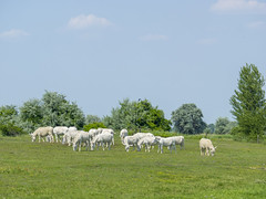 P5310607 (turbok) Tags: ebene esel haustiere landschaft seewinkel tiere c kurt krimberger