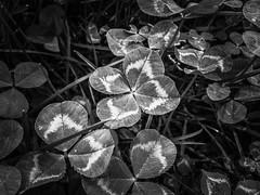 Quatrefoil (Aran Kos) Tags: quatrefoil nature black white forest wood wild life italy