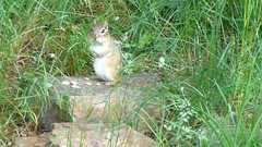 Stare, eat, and run (eileansiar) Tags: eileansiar home backkyard nature animal mammal chipmunk feeding cute niedlich mignon милый söpö listo carina fofo 可愛い