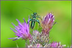 Oedémère noble ( Oedemera nobilis )  Focus Distance : 0.67 m (Norbert Lefevre) Tags: oedémère insecte fleur bokeh nikon d500 105mmf28 macro