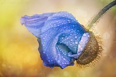 Emergence (SkyeWeasel) Tags: macro flower plant nature poppy himalayanpoppy meconopsis blue bokeh bloom smileonsaturday flowersbottom