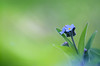 Forget-Me-Not (lfeng1014) Tags: forgetmenot flower macro macrophotography canon5dmarkiii ef100mmf28lmacroisusm spring closeup bokeh dof depthoffield myosotis light lifeng