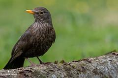Blackbird (geraintparry) Tags: south wales southwales nature geraint parry geraintparry wildlife cardiff forestfarm forest farm sigma sigma150600 150600 150600mm nikond500 d500 animal animals female blackbird bird birds