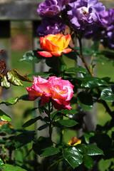 DSC_0174 (PeaTJay) Tags: nikond750 sigma reading lowerearley berkshire macro micro closeups gardens outdoors nature flora fauna plants flowers rose roses rosebuds