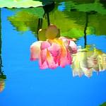 Lotus Flower Reflection thumbnail