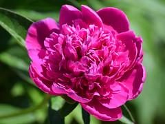 Peony (RockN) Tags: peonies blooming maryannstaogarden june2018 worcester massachusetts newengland