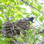 crow's chick growing up thumbnail