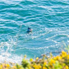 Wild Life (alize_28) Tags: phoque seal faune wildlife ocean sea nature bleu blue paysage landscape nikon finistère leconquet kermorvan bretagne france