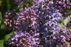 Lilacs Blooming In Front Yard 012 (Chrisser) Tags: flowers lilacs shrubs syringavulgaris oleaceae nature ontario canada canoneosrebelt6i canonef75300mmf456iiiusmlens gardening garden fourseasons spring closeups