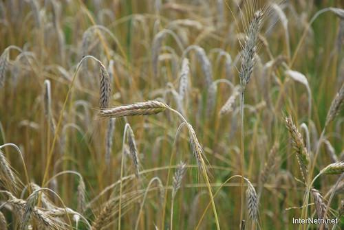 Пшениця, жито, овес InterNetri  Ukraine 038