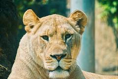 African Lioness (kimkullman) Tags: african lion lioness cat feline animal zoo philadelphia