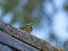 P5280021 (turbok) Tags: goldammeremberizacitrinella tiere vögel wildtiere c kurt krimberger