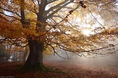 The Beauty of Autumn (Hector Prada) Tags: otoño autumn forest bosque fog niebla hojas leaves bruma mist roots raices light luz paísvasco basquecountry