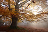 The Beauty of Autumn (Hector Prada) Tags: otoño autumn forest bosque fog niebla hojas leaves bruma mist roots raices light luz paísvasco basquecountry