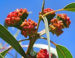 Eucalyptus erythrocorys3 (Oriolus84) Tags: eucalyptuserythrocorys eucalyptus myrtaceae illyarrie redcappedgum tree gumtree paradise adelaide southaustralia australia native plant buds redbuds